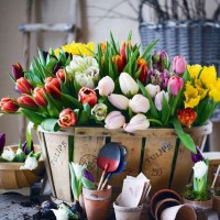 Tündöklő színes tulipánok
