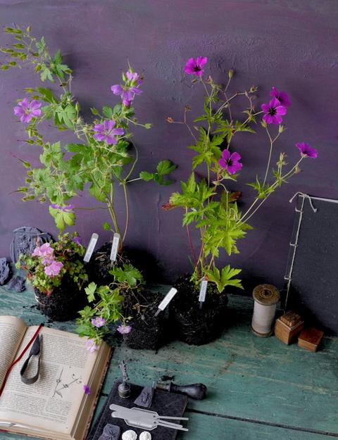 Gólyaorr botanika