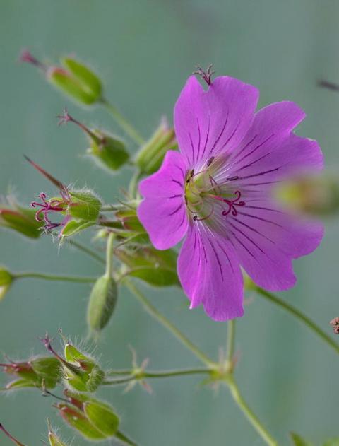 Gólyaorr botanika (4)